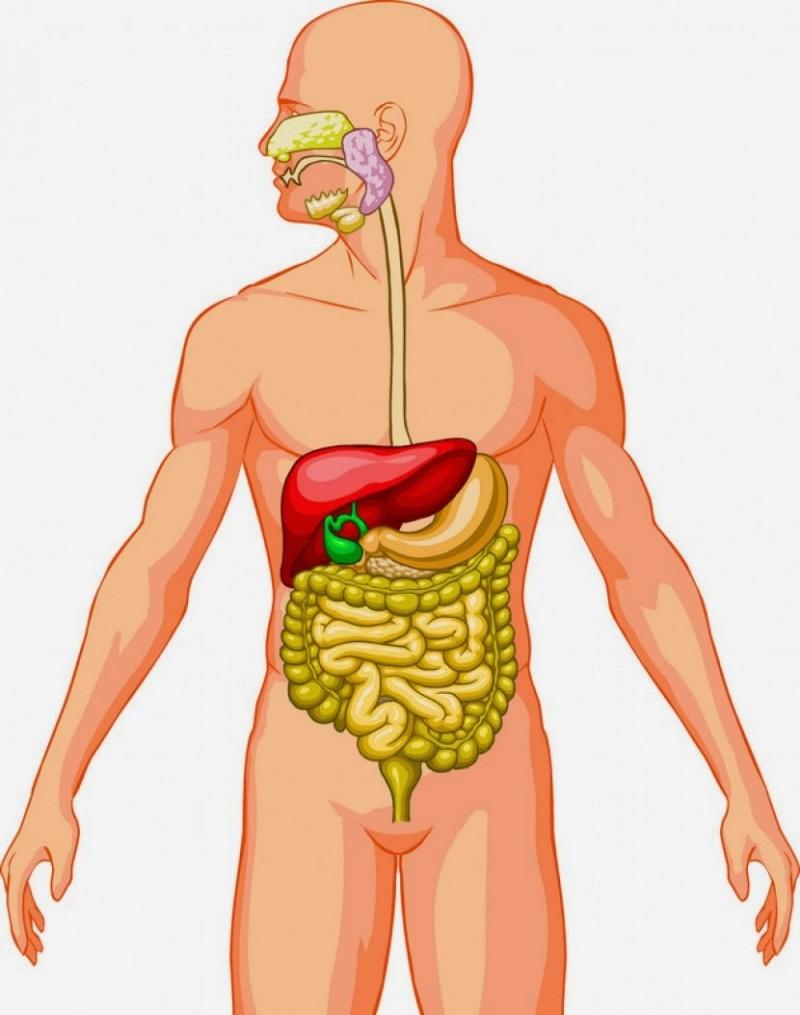 Cómo funciona el aparato digestivo?