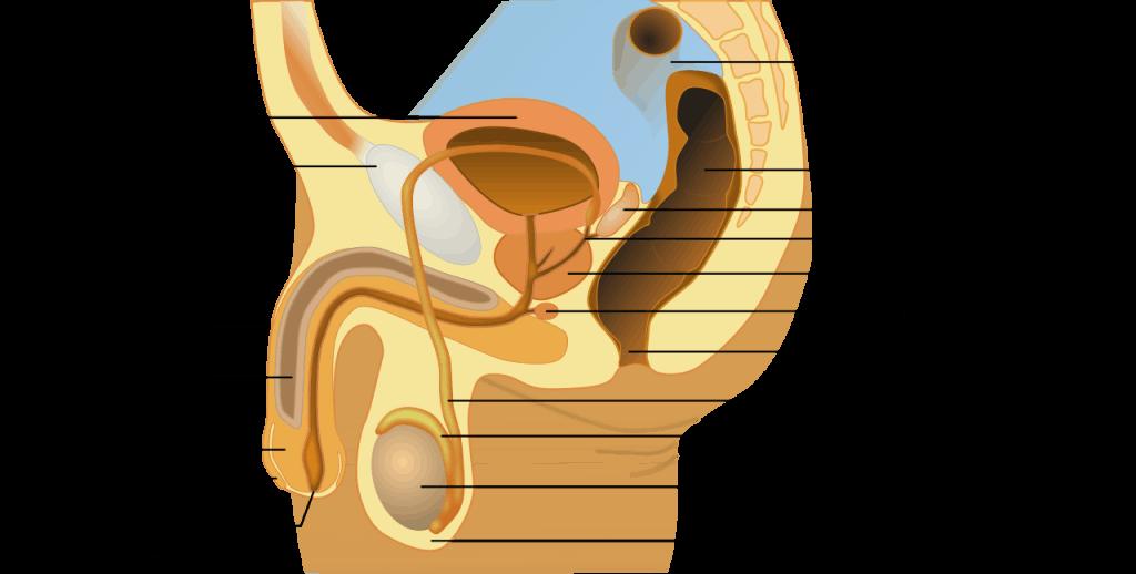 Descripcion anatomica del aparato reproductor masculino; debajo de la vejiga podemos apreciar la prostata