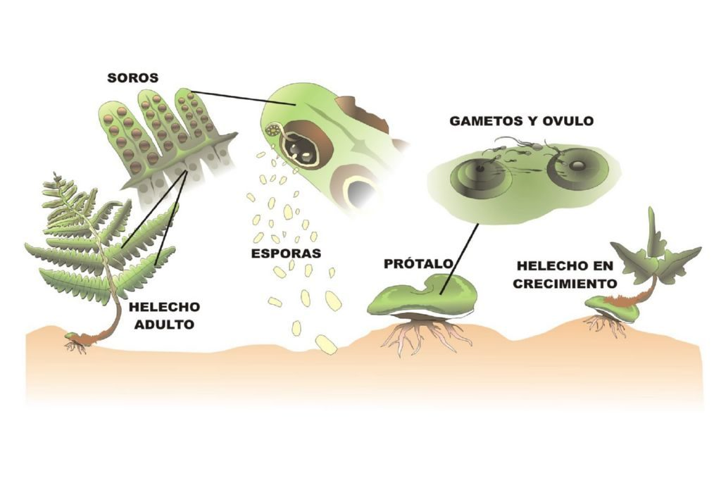 Aparato reproductor asexual de las plantas