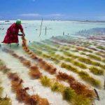 Cómo funciona la algacultura, ¡Explicado para tontos!